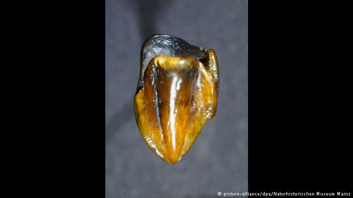 9.7 million year old human tooth germany